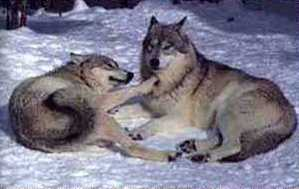 courting wolves